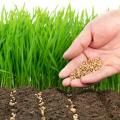 Як самостійно виростити газон