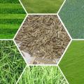 Купити насіння газонної трави