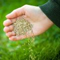 Переваги посівного газону